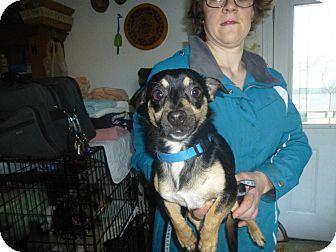 Rat Terrier Mix Puppy for adoption in Glastonbury, Connecticut - Connie
