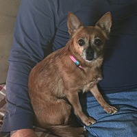 Chihuahua Mix Dog for adoption in Dayton, Ohio - Mini - Dale, WI