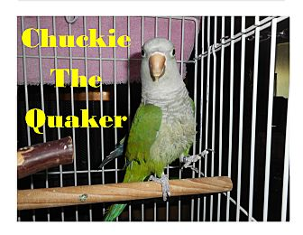 Parakeet - Quaker for adoption in Vancouver, Washington - Chuckie The Quaker