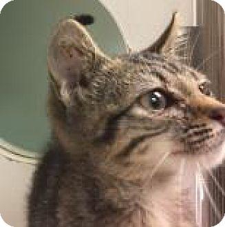 Domestic Shorthair Kitten for adoption in Columbus, Georgia - Madaline 9554