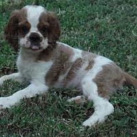 Adopt A Pet :: Sawyer - Orlando, FL