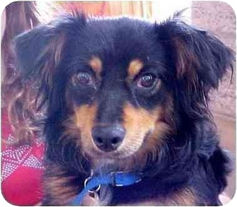 Dachshund Mix Dog for adoption in Spring Valley, California - Peluche