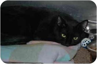 Domestic Longhair Cat for adoption in Walker, Michigan - Mr. Bojangles