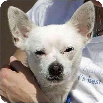Chihuahua Dog for adoption in Berkeley, California - Papa