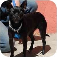 Chihuahua Mix Dog for adoption in Denver, Colorado - Sombra