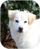 Golden Retriever/Australian Shepherd Mix Dog for adoption in Hagerstown, Maryland - Jesse