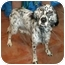 Photo 4 - English Setter Dog for adoption in Troy, Michigan - Lady