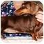 Photo 1 - Dachshund Dog for adoption in Seneca, South Carolina - HERSHEY