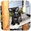 Photo 1 - Domestic Shorthair Kitten for adoption in Houston, Texas - Selina