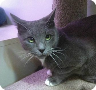 Domestic Shorthair Cat for adoption in Spring Brook, New York - Buttons