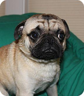 Pug Dog for adoption in Bend, Oregon - Cliff