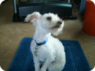 Schnauzer (Miniature)/Poodle (Toy or Tea Cup) Mix Dog for adoption in Carey, Ohio - Aiden (pending)