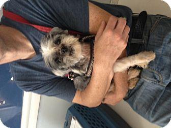 Shih Tzu Dog for adoption in SO CALIF, California - Sasha