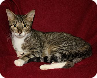 American Shorthair Cat for adoption in Rochester, New York - Pink Martini