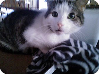 Domestic Shorthair Cat for adoption in East Stroudsburg, Pennsylvania - Trouble II