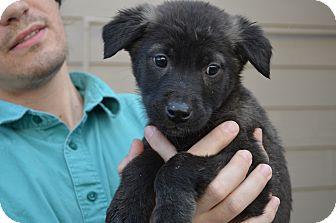 Labrador Retriever/Shepherd (Unknown Type) Mix Puppy for adoption in Westminster, Colorado - Evan