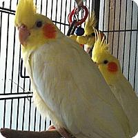 Adopt A Pet :: Sydney - Lenexa, KS