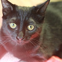 Domestic Shorthair Cat for adoption in Canoga Park, California - Jetta