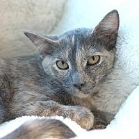 Domestic Shorthair Kitten for adoption in Westchester, California - Torey