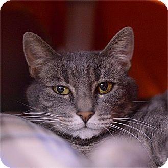 Domestic Shorthair Cat for adoption in Stillwater, Oklahoma - Roxy