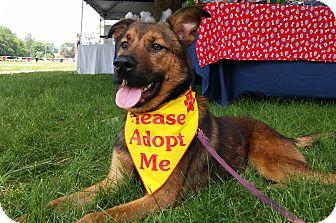 German Shepherd Dog Mix Puppy for adoption in Louisville, Kentucky - Pip