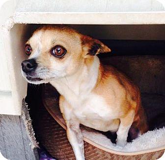Chihuahua Mix Dog for adoption in Redmond, Oregon - Flaca