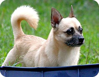 Chihuahua/Pug Mix Dog for adoption in Conway, New Hampshire - Oliver
