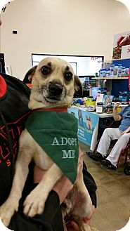 Chihuahua Mix Dog for adoption in Mantua, New Jersey - Roy