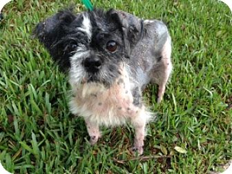 Shih Tzu Mix Dog for adoption in Tallahassee, Florida - Colin