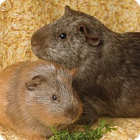 Adopt A Pet :: Dominic & Saint Nick - Santa Barbara, CA