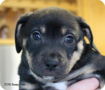 Labrador Retriever/Australian Shepherd Mix Puppy for adoption in Bedford, Virginia - Max