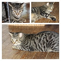 Domestic Shorthair Cat for adoption in Hayes, Virginia - Peanut