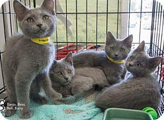 Russian Blue Kitten for adoption in Merrifield, Virginia - Banjo