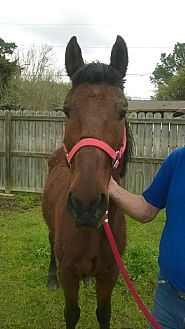 Quarterhorse Mix for adoption in Hitchcock, Texas - Blaine