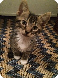Domestic Shorthair Kitten for adoption in Oak Lawn, Illinois - Biggie