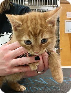 Domestic Shorthair Kitten for adoption in North Wilkesboro, North Carolina - Tigger