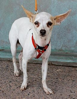 Chihuahua/Italian Greyhound Mix Dog for adoption in Albuquerque, New Mexico - Honey