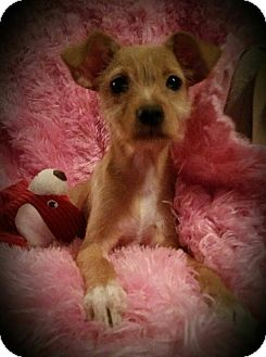 Chihuahua Mix Puppy for adoption in Houston, Texas - Faith