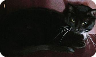 Domestic Shorthair Cat for adoption in Warren, Michigan - Bootsie Boop