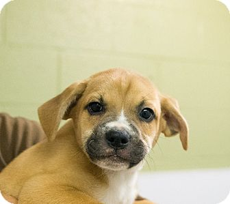 Boxer Mix Puppy for adoption in Seville, Ohio - Prince
