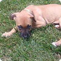 Adopt A Pet :: Cinnamon - Fenton, MO