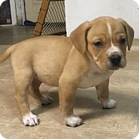 Adopt A Pet :: Bree - Mechanicsburg, PA