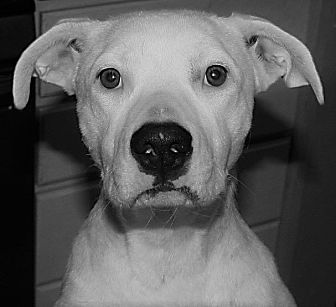 Boxer/Border Collie Mix Puppy for adoption in Austin, Texas - Cookie