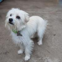 Adopt A Pet :: Biscuit - Eugene, OR