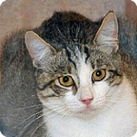Domestic Shorthair Cat for adoption in Wildomar, California - 356846