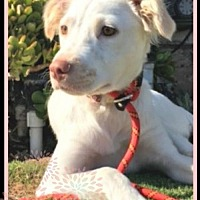 Adopt A Pet :: Lola - Huntington Beach, CA