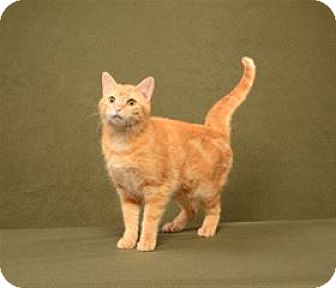 Domestic Shorthair Cat for adoption in Cary, North Carolina - Winnie