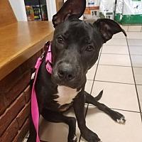 Adopt A Pet :: Liberty [NEEDS FOSTER] - Decatur, GA