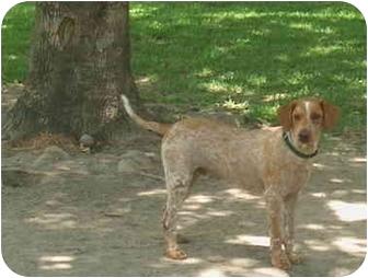 Spaniel (Unknown Type)/Pointer Mix Dog for adoption in Plaquemine, Louisiana - Fabio