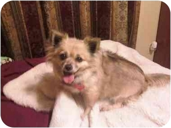 Chihuahua Dog for adoption in San Diego, California - Buttercup